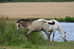 Au bord de l'eau (2) (Graud de St G) Tags: bourgogne nivre 58 chevaux horses poulain