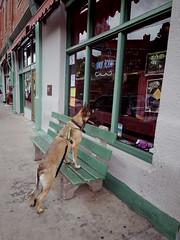 Dog waiting for owner outside the Spirit Room (EllenJo) Tags: jerome arizona jeromearizona jeromeaz 86331 verdevalley august22 2016 firstdayofvirgo ellenjoroberts ellenjo pentaxqs1 pentax dog bench spiritroom connorhotel pet germanshephard