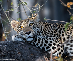Taking a rest !!   (Explore 8-24-16) (Doreen Bequary) Tags: d500 bigcat beautifuleyes nikkorafs200500 animal mammal bigfive leopard africa okavangodelta botswana spots carnivore cat