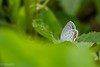 Copper (Yorkey&Rin) Tags: 2016 7月 butterfly copper em5 japan july lakeyamanaka olympus olympusm75300mmf4867ii rin t7241600 yamanashi シジミチョウ ツバメシジミ 花の都公園 山中湖 山梨県 蝶