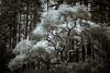 smalloak-012.jpg (Yvonne Rathbone) Tags: 1855mmf3556gvr joaquinmillerpark nikkor nikon branches forest monochrome oak outdoors parks redwoods tree vintage quiet peaceful technical blackwhite