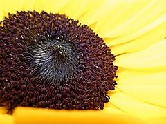 Sunflower Central! (springblossom3) Tags: sunflower flower plant nature garden