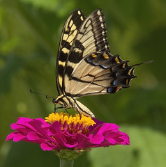 Eastern Tiger Swallowtail, female (Papilio glaucus) (AllHarts) Tags: easterntigerswallowtailpapilioglaucus shelbyfarmsparkpublicgardens memphistn naturescarousel ngc ourwonderfulandfragileworld