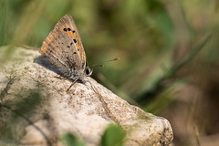 Pause bronzage (regisfiacre) Tags: papillon butterfly schmetterling insecte insect bugs macro canon 100mm nature prairie meadow france moselle green vert lycaena phlaeas cuivr commun