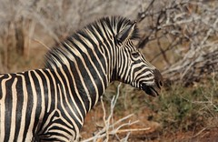 Zebra (JH Byrne) Tags: zebra kruger park south africa outdoors herbivore lion elephant rhino winter