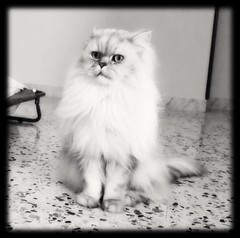 Romeo my chinchilla Persian cat (romeosilverpersian) Tags: longhairedcats persiancats cats beautifulcats silvercat silvertabby chinchillapersian chinchillacats