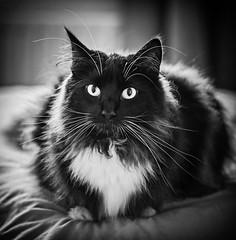 Percy (BW) (Olympus OMD EM5II & mZuiko 75mm f1.8 Prime) (markdbaynham) Tags: cat feline pet percy cute olympus omd em5 em5ii csc evil mirrorless mft m43 m43rd mz zd zuiko zuikolic mzuiko 75mm f18 prime microfourthirds micro43