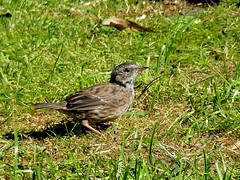 juv.Heckenbraunelle***juv.dunnock***Prunella modularis (BrigitteE1) Tags: juvheckenbraunelle juvdunnock prunellamodularis backyard vogel bird deutschland germany europe