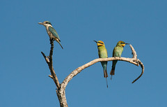Rainbow bee-eater pair and sacred Kingfisher at East Point_9876 (Jen Crowley Photography) Tags: bird birds rainbow rainbowbeeeater kingfisher sacredkingfisher sacred eastpoint northernterritory nikon nt australia