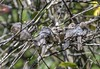 Bushtit (David Badke) Tags: saanich bc bird juvenile chick snuggly family