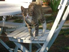 (astroluce) Tags: gatto cat grey chair white bianco sedia tavolo table gattino animale