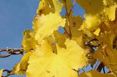 Herbstblatter Wein CL2 (reinhard_srb) Tags: weigerten herbst farbe bltter trauben ernte rebe winzer lese maische weinstock gelb kette himmel blau