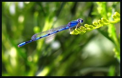 IMG_0227 Impeccable Form 8-22-16 (arkansas traveler) Tags: damselfly northernbluet bichos bugs insects zoom telephoto bokeh bokehlicious nature naturewatcher natureartphotography