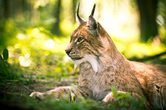 The Lynx ( - Ralf) Tags: lynx luchs cat katzen bokeh