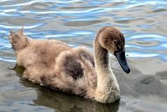 Cygnet at Fleet Pond (c.marney) Tags: swan cygnet