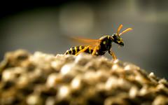 on lookout (Florian Grundstein) Tags: wespen insekten nest wespennest makro details macro yellow black olympus omd em1 zuiko pro 40150 mft bokeh closeup tier grundstein florian wasp
