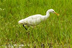 selectSAM_6432 (mashrafis) Tags: bird birds bangladesh cattleegret bok pakhi
