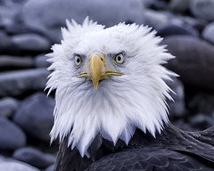 """""""What....you got a problem?"""" (Hawg Wild Photography) Tags: americanbaldeagle nature wildlife terrygreen nikon"""