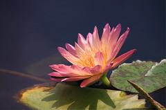 _MG_2479 (chazheng) Tags: waterlily lotus flower beautiful floral fantasy attraction closeup flickr beauty bokeh macro fullframe love colorful nature