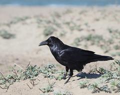 Common Raven on the Beach (Ingrid Taylar) Tags: commonraven corvuscorax raven crissyfield sanfrancisco presidio beach winter olympus em1 zuiko 50200mm bird corvid bayarea california northerncalifornia sand