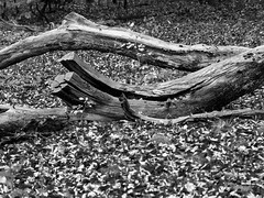 Dead wood / Totholz (schauplatz) Tags: regen spaziergang stuttgartrohr schwarzweis schwarzweiss blackandwhite blackwhite stamm deadwood totholz holz laub