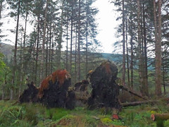 Fir tree stumps, Loch Ard (Majorshots) Tags: lochard stirling scotland trossachsnationalpark trossachs thetrossachs