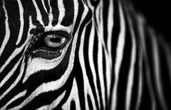 The Mask ! (Almsaeed) Tags: mask black white contrast eyes lines zebra animal monochrome uae abudhabi field canon photography depth close macro z 70200 lens digital impressive interesting park zoo