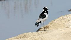 IMG_2843 (trevor.warry@btinternet.com) Tags: kenya lakenakuru lakenakurulodge lapwing