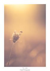 Rveil en douceur (Naska Photographie) Tags: naska photographie photo photographe paysage proxy proxyphoto mouche insectes volant extrieur couleur color bokeh matin morning douceur sweet pink macro macrophotographie mac eos 6d canon 150mm sigma