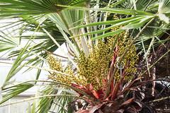Zwergpalme (Chamaerops humilis) (blumenbiene) Tags: plant pflanze flowers blten blte flower boga botanical garden botanischer garten dresden saxony sachsen palme palm zwergpalme chamaerops humilis european fan mediterranean dwarf