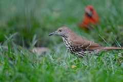 Brown Thrasher-45901.jpg (Mully410 * Images) Tags: grass birdwatching birding cardinal backyard northerncardinal bird birds brownthrasher birder lawn