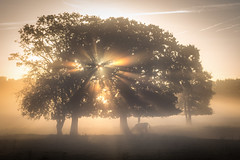 Dreamland (Christian Wilmes) Tags: nebel sonne sonnenaufgang baum bume wiese licht lichtstrahlen strahlen lightrays sunrise fog cow kuh emsland sony dsc rx100 mist