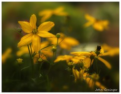 Coreopsis verticillata (johngrainger22) Tags: