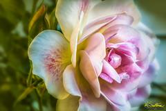 Whiterosepinkblushefex-Edit-Edit.jpg (raysul) Tags: rose closeup beautyinmacro flower macro flowerphotography floralart decorative depthoffield