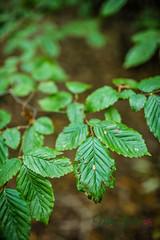 MCG_1028 (mikegreen78) Tags: britain british countryside forest leaf leaves stodmarsh woodland woods spider web littlebourne england unitedkingdom gb