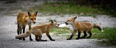 Tug-of-War (minds-eye) Tags: dogs florida wildlife den fox redfox