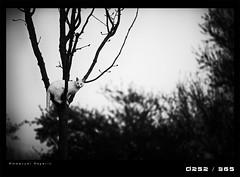 j252D Hunting instinc (Emmanuel DEPARIS) Tags: tree cat chat arbre blanc emmanuel deparis