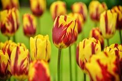 Keukenhof - Holland Tulip Farm (GeneInman.com) Tags: travel test flower holland wow garden photography interesting nikon europe flickr shots gene explore most mostinteresting topv fav topv9999 inman d800 workflow worldtravel aroundtheworld travelphotography w0w mapme wetraveltheworld nikond800 lifefromasuitcase geneinmanphotography geneinman wwwgeneinmancom genesfavs nikond800testshotsexamples nikoncapturenx2testimagesexamples niksoftwaretestimagesexamples topazsoftwaretestimagesexamples d800settings capturenn2 genestravel