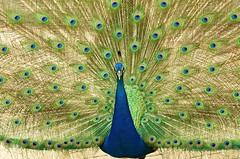 Proud (jakerome) Tags: blue wild green hawaii cool display oahu peacock northshore uncool cool2 cool5 cool3 cool6 cool4 i500 newprint cool7 smcpentaxda50135mmf28edifsdm uncool2 iceboxcool coolsave f64g43r3win boh2012