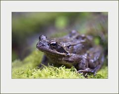 _DSC4202 (Weinstöckle) Tags: wald frosch regen regentag waldboden amphibien wurmberg moorfrosch