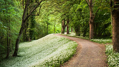 Spring's Carpet (andywon) Tags: trees white nature forest germany landscape spring blossom path bloom mannheim wildgarlic ramson badenwrttemberg waldpark buckrams