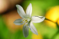 (texaskim81 **busy**) Tags: light shadow flower macro primavera spring colours dof bokeh ombra natura april dettagli aprile fiore colori luce 2012 lattedigallina delicatezza ornithogallum platinumheartaward