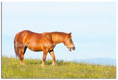I heard a neigh! (pongo 2007) Tags: horse mountain field grass caballo cheval spring europe hill chestnut cavallo cavalo pferd equus paard neigh ceffyl yearofthehorse pongo2007