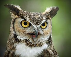 Look (salva1974) Tags: newmexico nature animal pen spring hawk albuquerque olympus owl 2012 widlife mygearandme mygearandmepremium mygearandmebronze mygearandmesilver mygearandmegold mygearandmeplatinum mygearandmediamond me2youphotographylevel2 me2youphotographylevel1