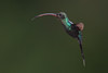 Green Hermit, Phaethornis guy, Hummingbird (mikebaird) Tags: costarica hummingbird arr getty gettyimages mikebaird greenhermit phaethornisguy 09may2012