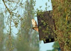Brandon Marsh Birds (thesetter) Tags: ghost owl warwickshire barnowl tytoalba screechowl brandonmarsh warwickshirewildlifetrust