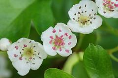 May blossom (RCB4J) Tags: flower nature sunshine spring hawthorn mayblossom tamronspaf90mmf28dimacro11 fantasticnature macroflowerlovers naturethroughthelens flickraward sonyslta77v ronniebarron rcb4j