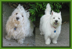 """Before & After"" (Explore #294) (ellenc995) Tags: friends riley westie explore westhighlandwhiteterrier groomer coth supershot abigfave pet100 rubyphotographer 100commentgroup coth5 naturallywonderful thesunshinegroup sunrays5"
