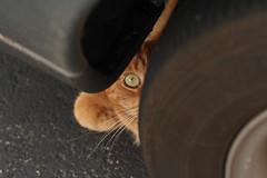 Mack under a car - again (Kerri Lee Smith) Tags: orange cats pets cars animals ginger 100mm tires greeneyes kitties tabbies felines asphalt mack shorthairs