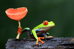 Frog Prince (Megan Lorenz) Tags: travel wild green nature rainforest costarica wildlife amphibian frog getty february treefrog centralamerica 2012 heredia redeyedtreefrog sarapiqui gaudyleaffrog mlorenz meganlorenz photocontesttnc12